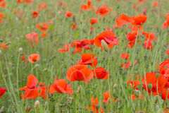 Red petal poppies in a field in the summertime Stock Photos