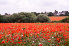 Red petal poppies in a field in the summertime Royalty Free Stock Photos