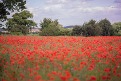 Red petal poppies in a field in the summertime Stock Images