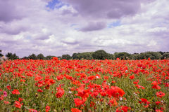 Red petal poppies in a field in the summertime Stock Photo