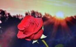 Red Petal Rose during Sunset Stock Photo