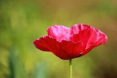 Red Petaled Flower Stock Photo