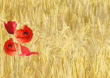Red Petaled Flower Near Yellow Grass during Daytime Royalty Free Stock Images