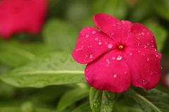 Red Petaled Flower With Rain Drops royalty free stock images