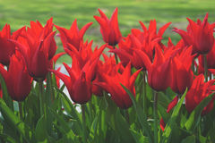 Red Petaled Flower With Thin Green Leaves Stock Images