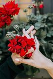 Red Petaled Flower in Between Two Person Hands Royalty Free Stock Images