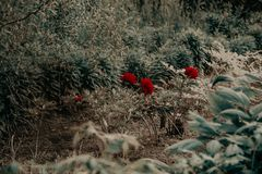 Red Petaled Flowers Royalty Free Stock Image