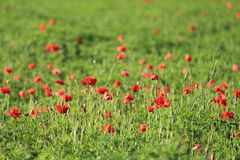 Red Petaled Flowers Stock Images