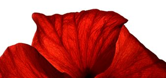 Red Petals. Of a flower on a white background royalty free stock image