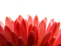 Red Petals Background. A beautiful background of red petals Royalty Free Stock Photography