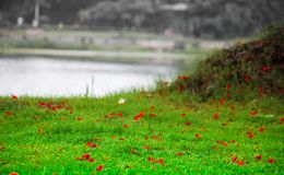 Red petals of flower on green grass landscape creating love romance valentine mood.  Royalty Free Stock Photo