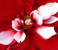 Red petals. Red flower with white petals in the middle Stock Photography