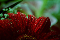Red petals of gerbera flower Stock Photo