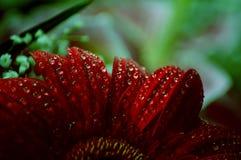 Red petals of gerbera flower stock photo