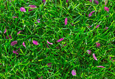 Red petals on grass.Useful as background Royalty Free Stock Image