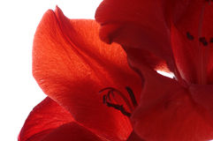 Red petals macro Royalty Free Stock Photography