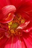 Red petals. Middle of a flower with deep red petals Royalty Free Stock Photography