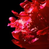 Red petals with water drops Royalty Free Stock Photos