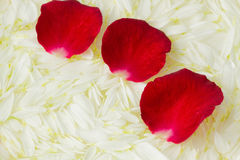 Red petals on white Stock Images
