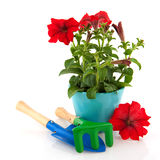 Red Petunia Royalty Free Stock Photos