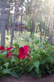 Red petunia blooms among the green leaves on the windowsill. In the background, the pine forest is blurred in the rays of the morning sun. Happy morning royalty free stock photos
