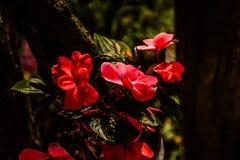 Red Petunia Stock Photo