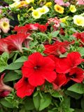 Red petunia in flower bed royalty free stock images