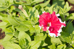 Red Petunia Flower. Royalty Free Stock Photo