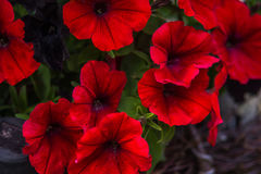 Red Petunia. Flower in the garden Stock Images