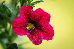 Red petunia flower of the nightshade family Royalty Free Stock Images
