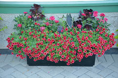 Red petunia flower planter Stock Photography