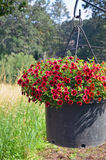Red petunia flower planter Stock Photos