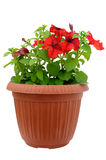 Red petunia in a flowerpot Royalty Free Stock Images