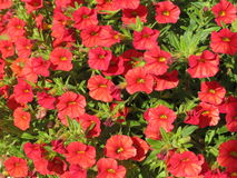 Red petunia Stock Photo