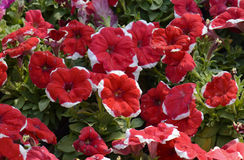Red petunia flowers, close up view, selective focus Stock Photos