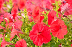 Red petunia flowers Royalty Free Stock Photo