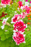 Red petunia flowers in garden Royalty Free Stock Photos