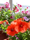 Red petunia flowers in a pot on a balcony. Red petunia flowers in a pot on the balcony among other flowers royalty free stock images