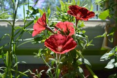 Red petunia flowers in sunny summer day on the balcony. Small garden. With blooming unpretentious plants royalty free stock photo