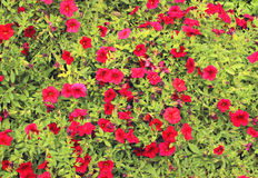 Red petunia Stock Photos