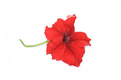Red petunia isolated on white Stock Images