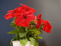 Red petunia pot Royalty Free Stock Photo