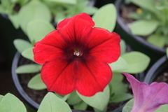 Red petunia. Single red petunia bloom with green leaves surrounding it royalty free stock photography