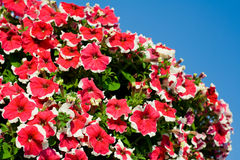 Red petunias. On a blue sky Royalty Free Stock Images