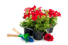Red petunias Royalty Free Stock Photo