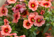 Red petunias flower Royalty Free Stock Photography