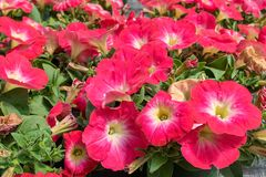 Red petunias in flowerbed Stock Photo