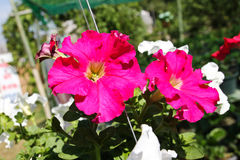 Red petunias flowers Royalty Free Stock Photo