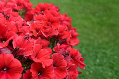 Red Petunias Royalty Free Stock Photos