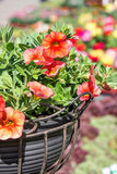 Red petunias Stock Images